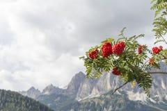 欧洲花楸红色果子  免版税图库摄影