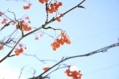 欧洲花楸红色莓果在冬天 库存图片