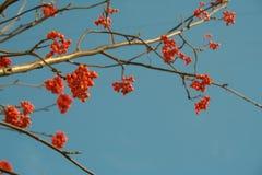 欧洲花楸红色莓果在清楚的蓝天背景的 免版税图库摄影