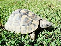 欧洲草龟 免版税库存照片