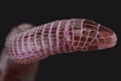 欧洲蚓蜥(Blanus cinereus) 免版税库存照片