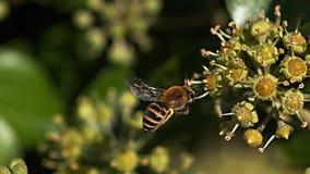 欧洲蜂蜜蜂, apis mellifera,在飞行中成人,会集在常春藤` s花的花粉,常春藤属螺旋,诺曼底, 影视素材