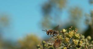 欧洲蜂蜜蜂, apis mellifera,成人在飞行中上面常春藤,常春藤属螺旋,诺曼底, 股票视频