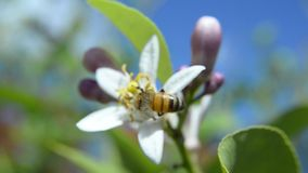 欧洲蜂蜜蜂 股票录像