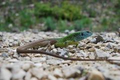 欧洲绿蜥蜴(蝎虎座viridis) 免版税库存照片