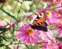 欧洲蝴蝶17 免版税图库摄影