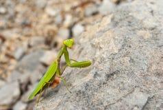 欧洲螳螂坐石头 库存图片