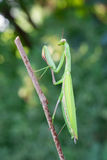 欧洲螳螂 库存照片
