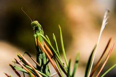欧洲螳螂 免版税库存图片