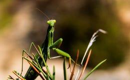欧洲螳螂 免版税图库摄影