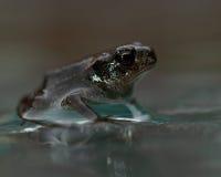 欧洲蟾蜍, Bufo bufo 15 mm婴孩 免版税库存照片