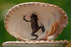 欧洲蟾蜍, Bufo bufo 15 mm婴孩 库存图片