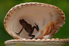 欧洲蟾蜍, Bufo bufo 15 mm婴孩 免版税图库摄影