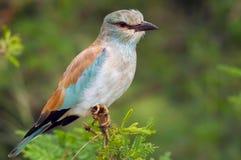 欧洲路辗(Coracias garrulus)在克留格尔国家公园。 库存照片