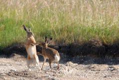 欧洲野兔装箱 免版税库存图片