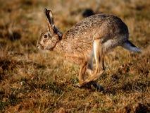 欧洲野兔 免版税库存照片