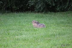 欧洲野兔 库存图片