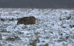 欧洲野兔 库存照片