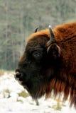 欧洲野牛在冬天森林储备Bialowieza森林里 免版税库存照片