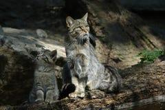 欧洲野猫 免版税库存图片