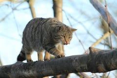 欧洲野生猫或森林猫 库存照片