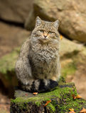 欧洲野生猫(猫属silvestris)坐岩石 免版税库存图片