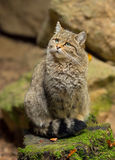 欧洲野生猫(猫属silvestris)坐岩石 免版税库存照片