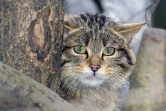 欧洲野生猫 图库摄影