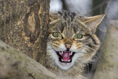 欧洲野生猫 库存图片