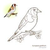 欧洲金翅雀颜色书传染媒介 库存照片