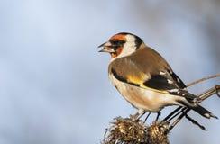 欧洲金翅雀 库存照片