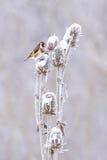 欧洲金翅雀(Carduelis carduelis) 图库摄影
