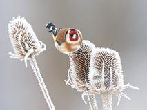 欧洲金翅雀(Carduelis carduelis) 库存照片