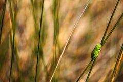 欧洲雨蛙,雨蛙arborea,精密绿色两栖动物坐与在自然栖所的草,法国 图库摄影