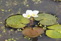 欧洲青蛙位(Hydrocharis morsus-ranae) 库存照片