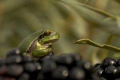 欧洲青蛙结构树 图库摄影