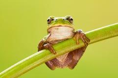 欧洲青蛙结构树 库存照片