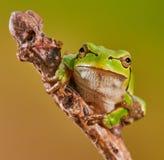 欧洲青蛙结构树 免版税库存照片