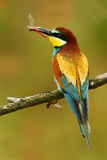 欧洲食蜂鸟,食蜂鸟属apiaster,美丽的鸟坐与蜻蜓的分支在票据 行动在nat的鸟场面 免版税库存照片