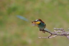 欧洲食蜂鸟(食蜂鸟属apiaster)。 免版税库存图片