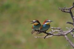 欧洲食蜂鸟(食蜂鸟属apiaster)。 图库摄影