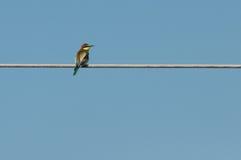 欧洲食蜂鸟(食蜂鸟属Apiaster)朝右边看 库存照片