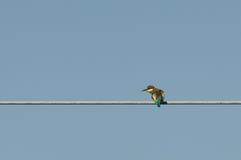欧洲食蜂鸟(食蜂鸟属Apiaster)朝左边看 免版税图库摄影