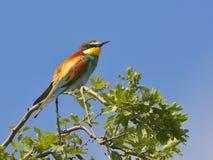 欧洲食蜂鸟-食蜂鸟属Apiaster 库存照片
