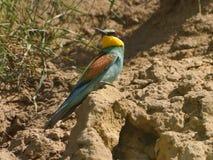 欧洲食蜂鸟-食蜂鸟属Apiaster 免版税库存照片