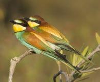 欧洲食蜂鸟 免版税库存照片