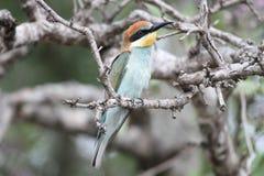 欧洲食蜂鸟 免版税图库摄影