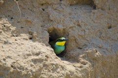 欧洲食蜂鸟 图库摄影