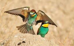 欧洲食蜂鸟 免版税库存图片