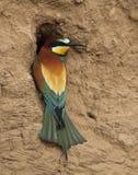 欧洲食蜂鸟 库存图片